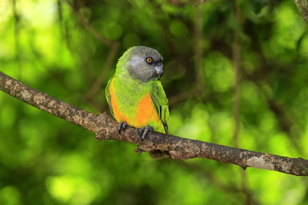 A Senegal parrot on a tree branch.