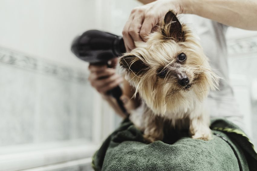 woman drying her dog with a hair dryer after a bath