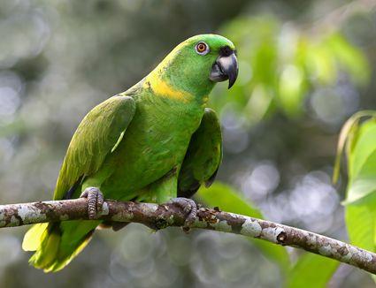 Yellow-napped parrot (Amazona auropalliata), Costa Rica