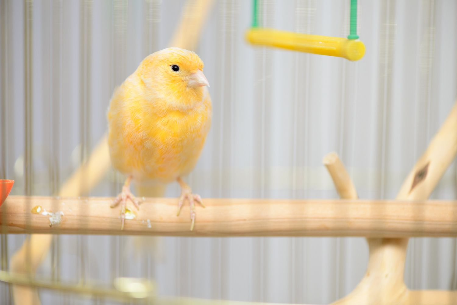 yellow canary on a perch
