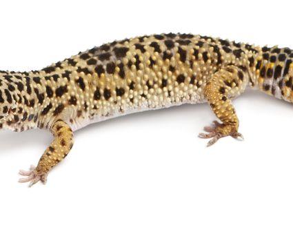 Total Eclipse Super Snow Galaxy Leopard Gecko Face