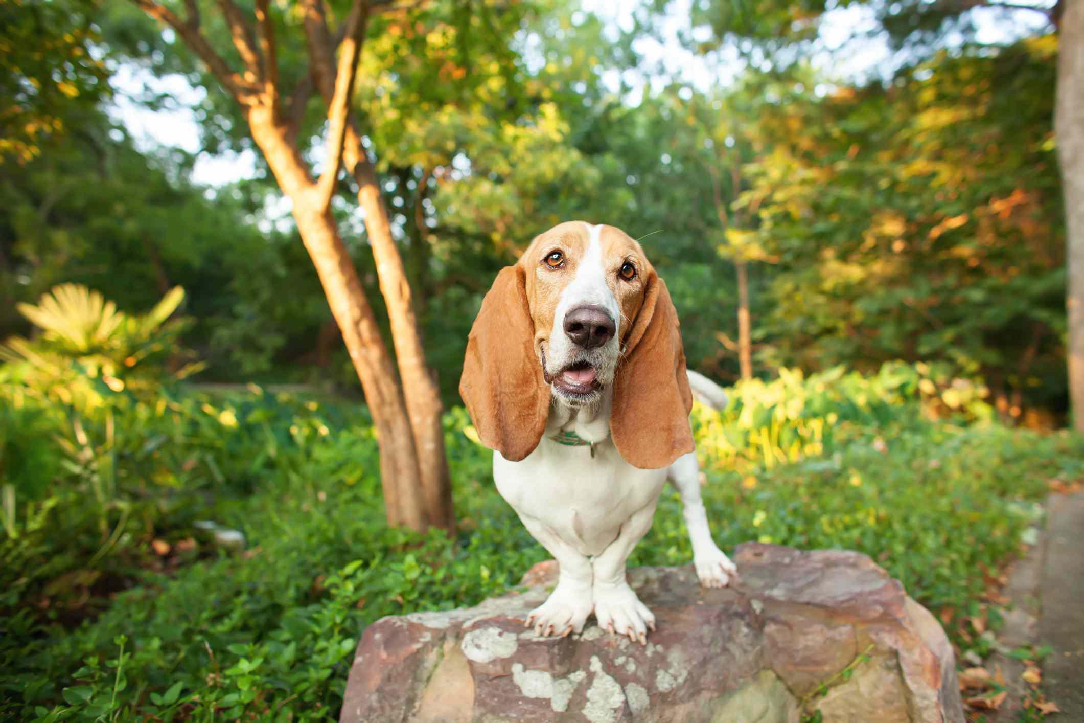Basset Hound standing on rock