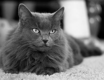 The Nebelung Cat