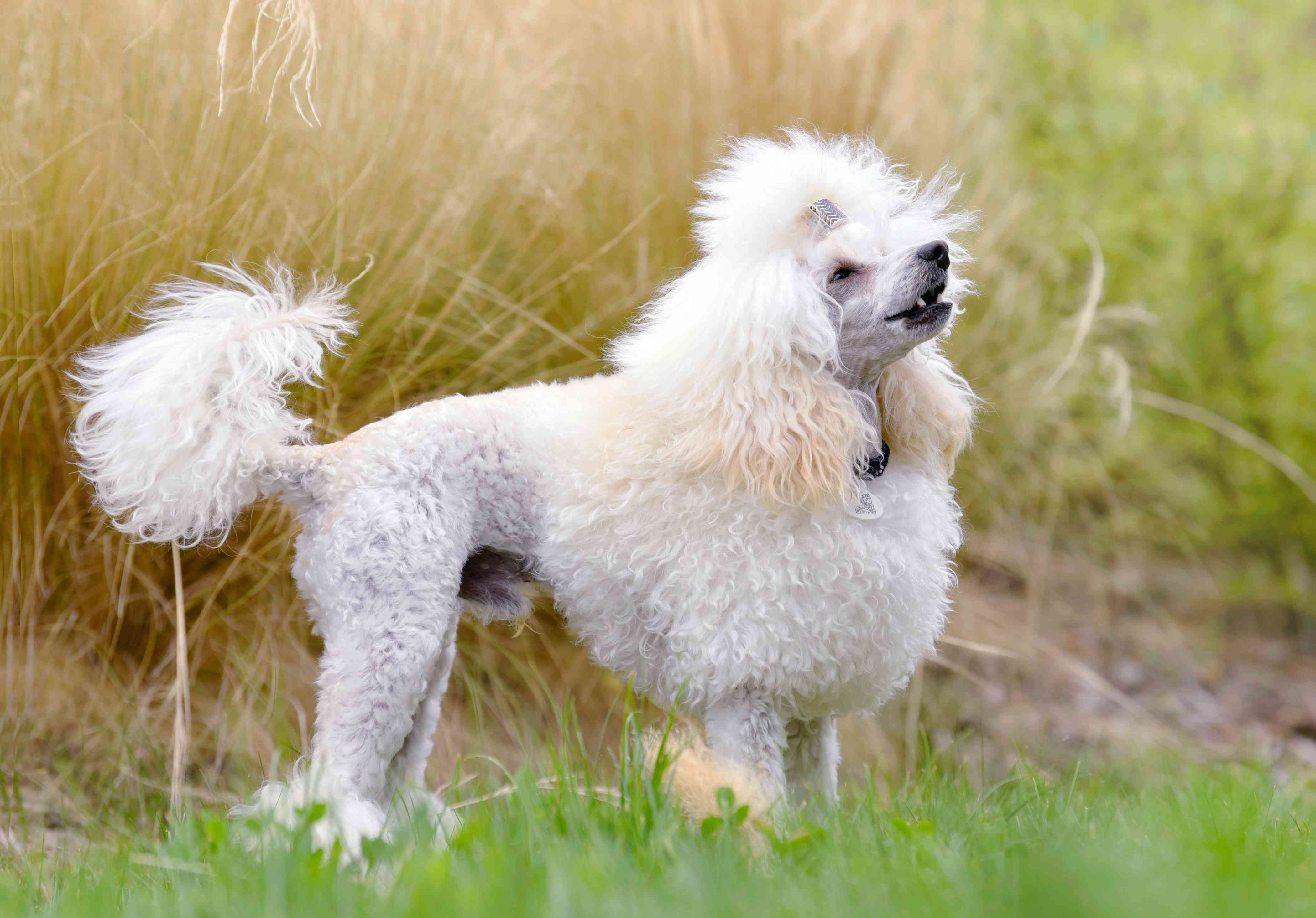 Curly-haired and manicured white poodle barking in front of tall grasses