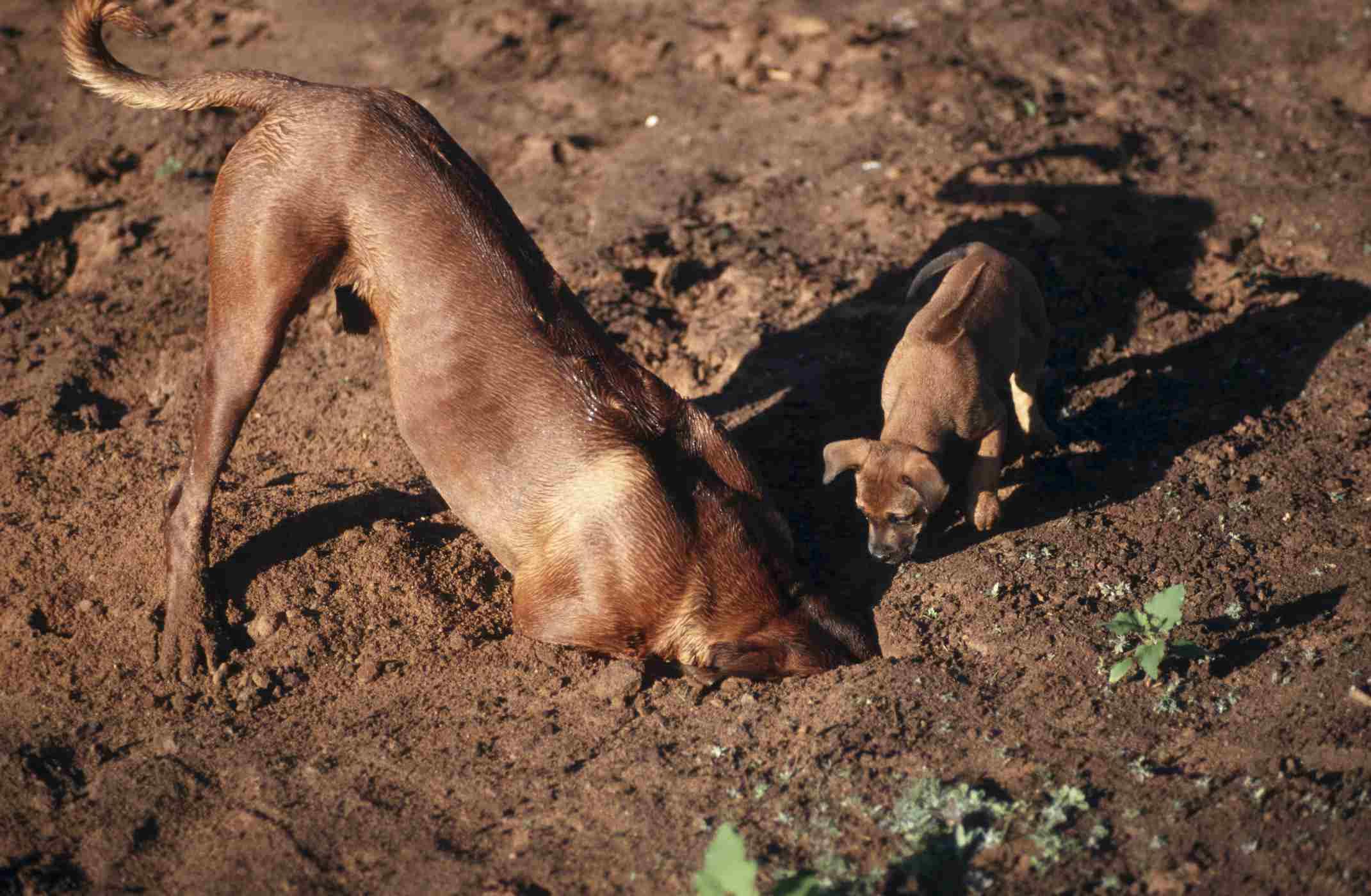 Rhodesian Ridgebacks digging a hole