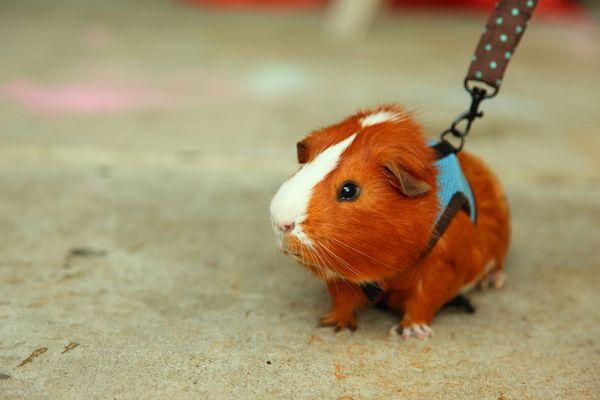Guinea Pig on a leash