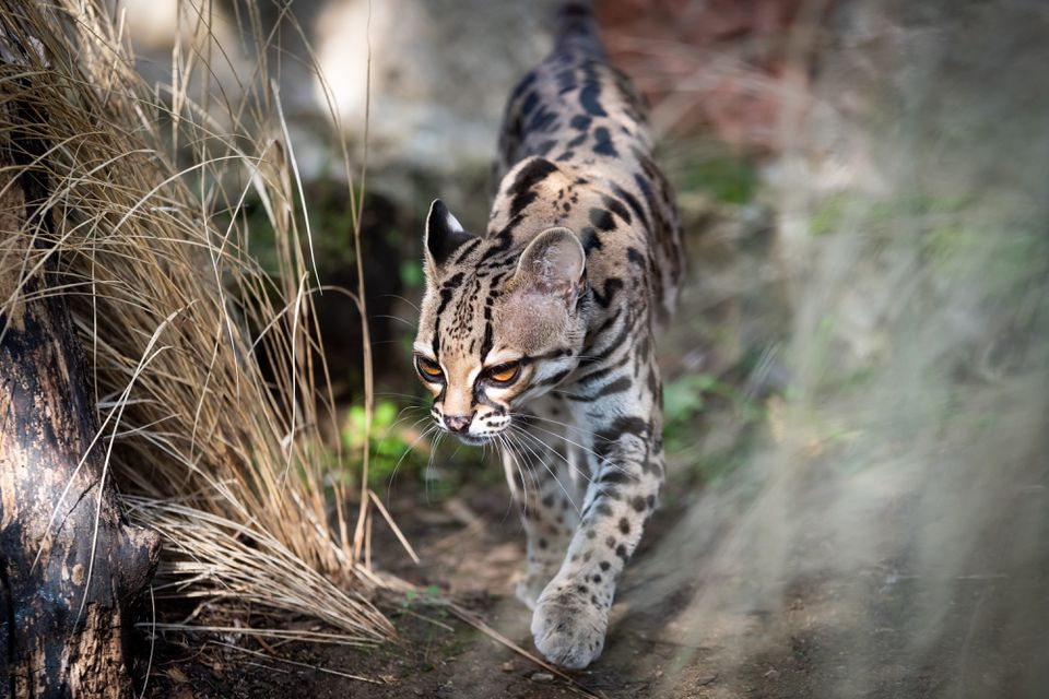 Close-up of Ocelot by Plant