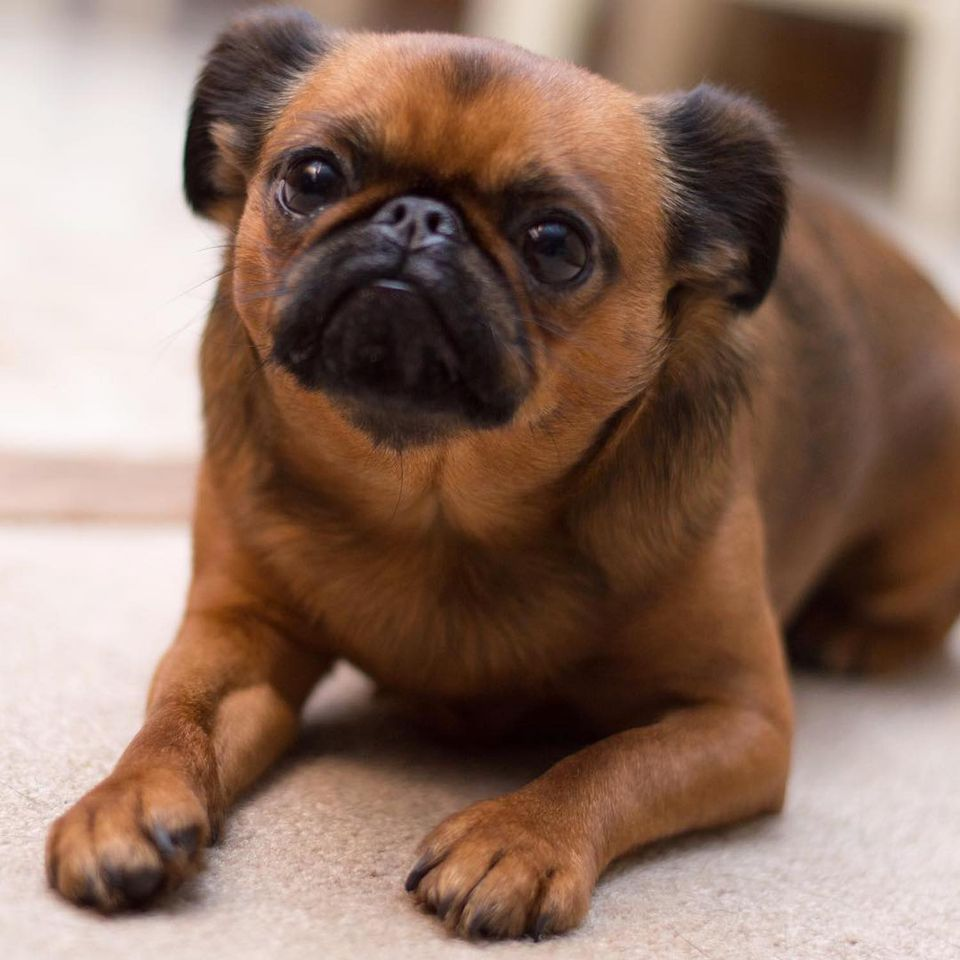 12 Adorable Photos Of Brussels Griffon Dogs