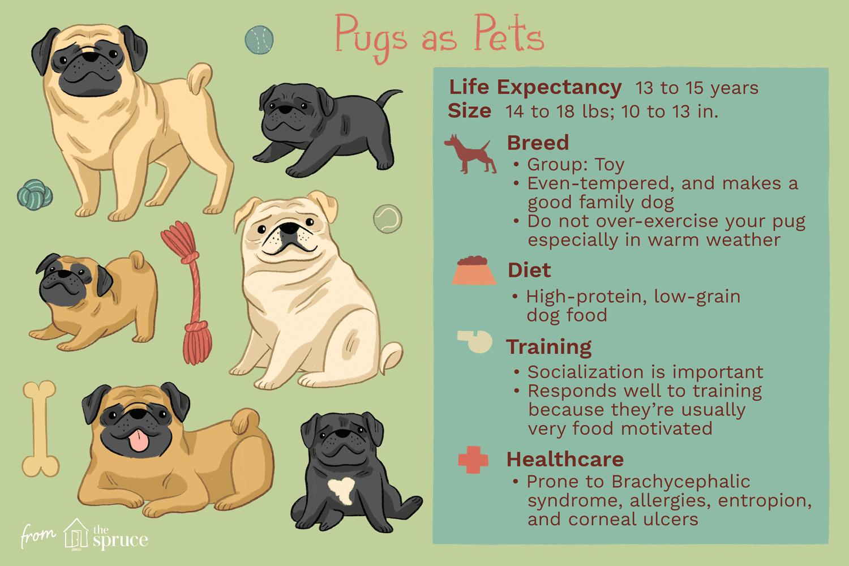 pugs as pets illustration