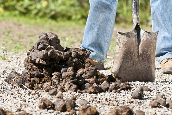 Horse manure beside shovel.