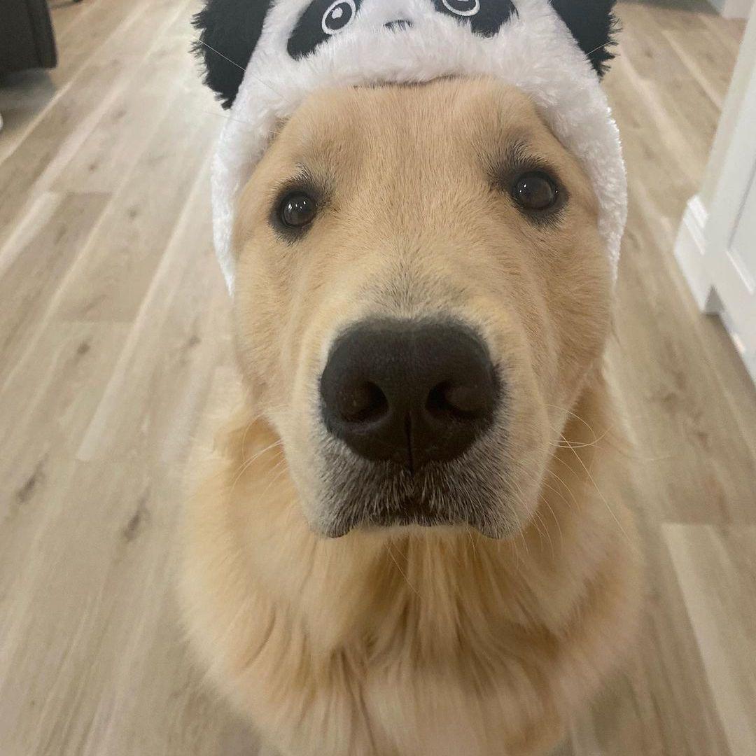 An up-close shot of a Golden Retriever dog wearing a panda hat.