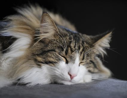picture of norwegian forest cat sleeping