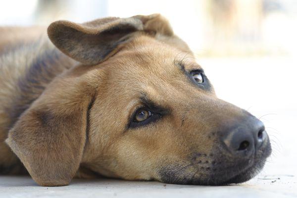 Sad brown dog lying down on floor