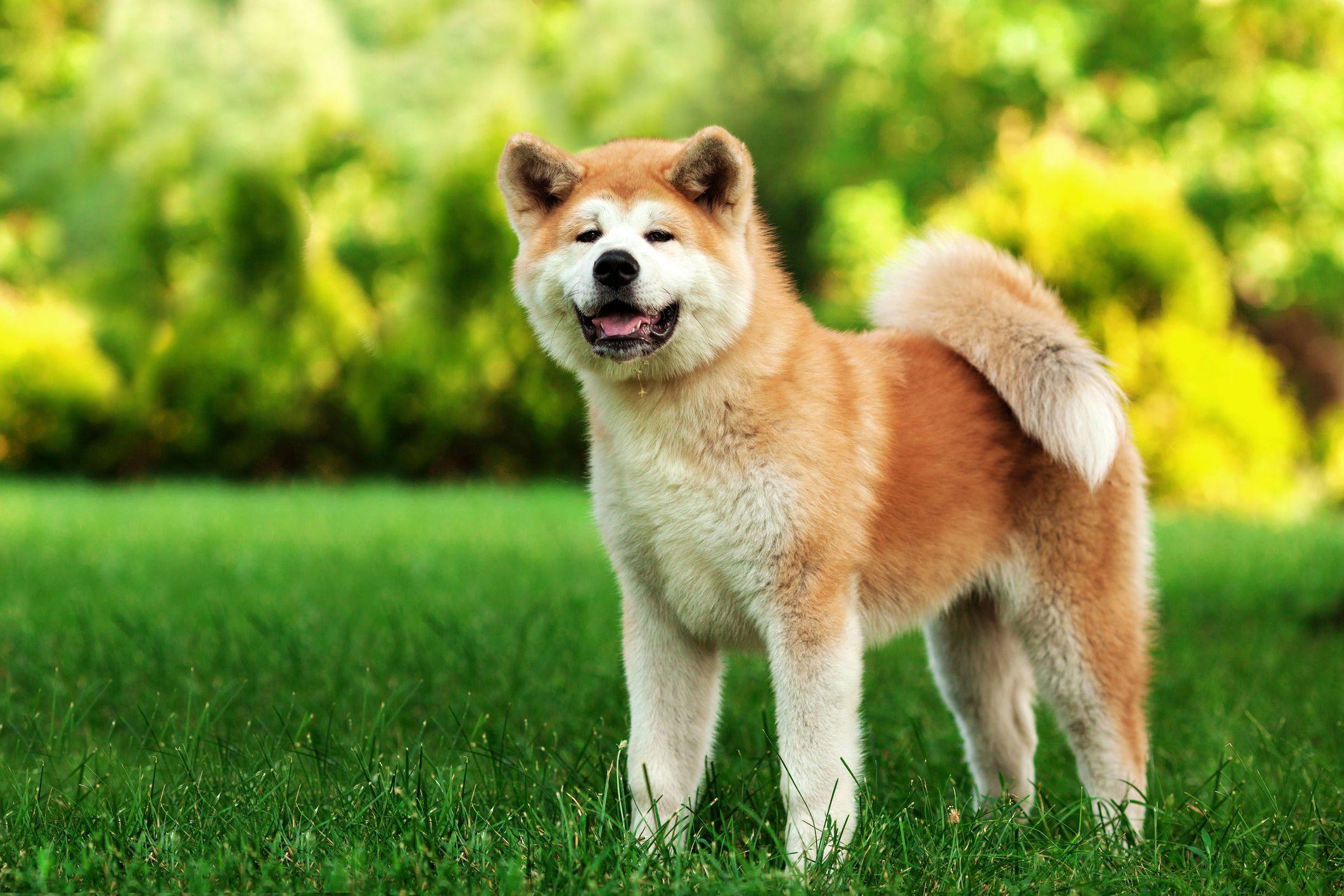 Akita: Full Profile, History, and Care