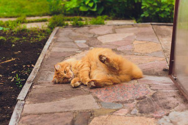 Kurilian bobtail cat outside