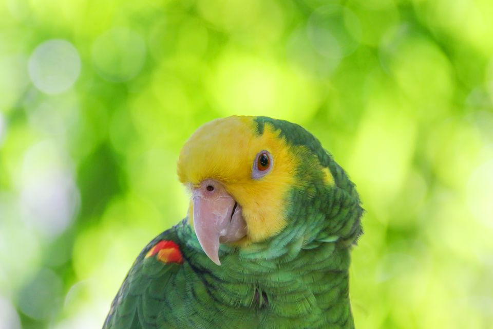 Yellow-Headed Amazon parrot