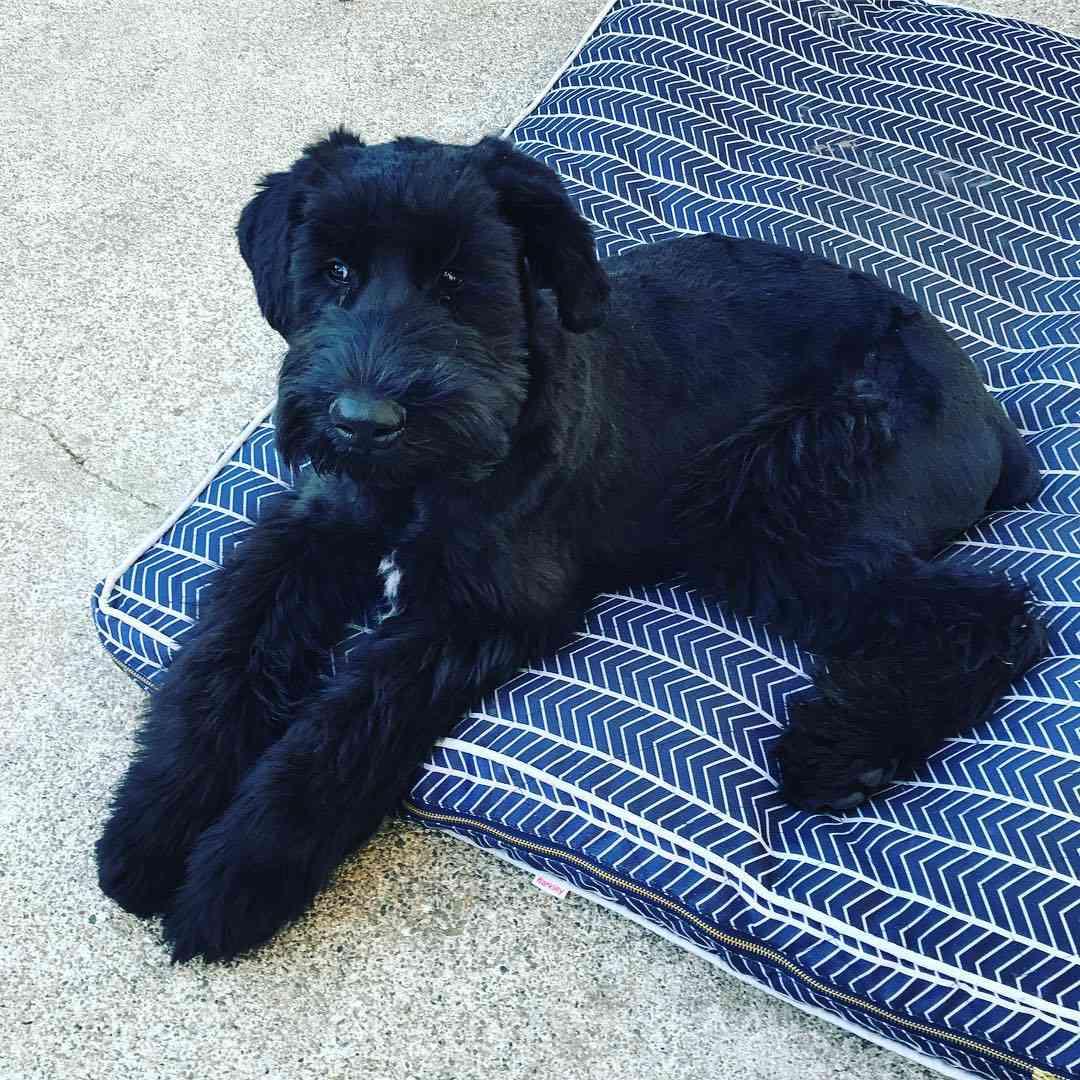 Giant schnauzer puppy on pillow