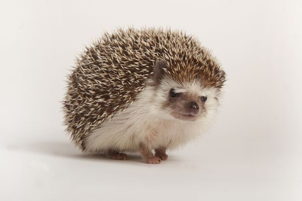 African pygmy hedgehog on white background