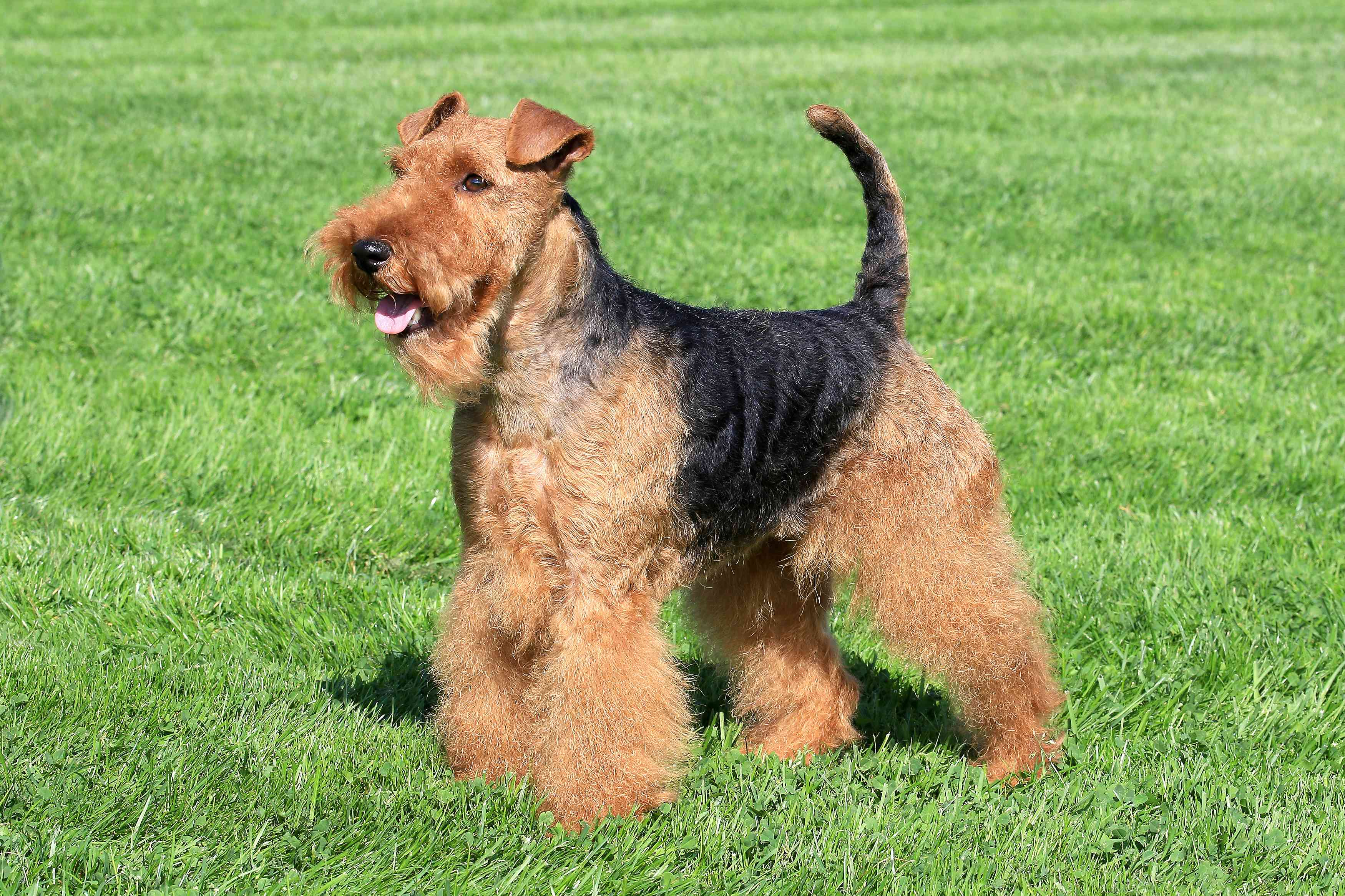 Welsh Terrier parado en el césped