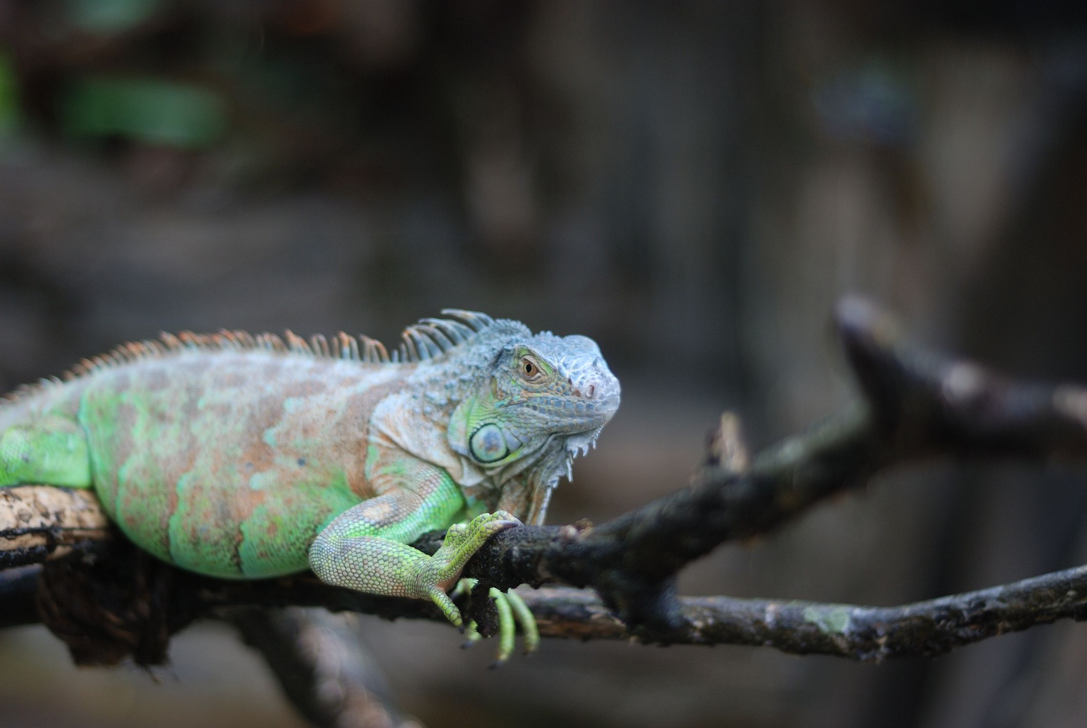 A Guide to Caring for Iguanas as Pets