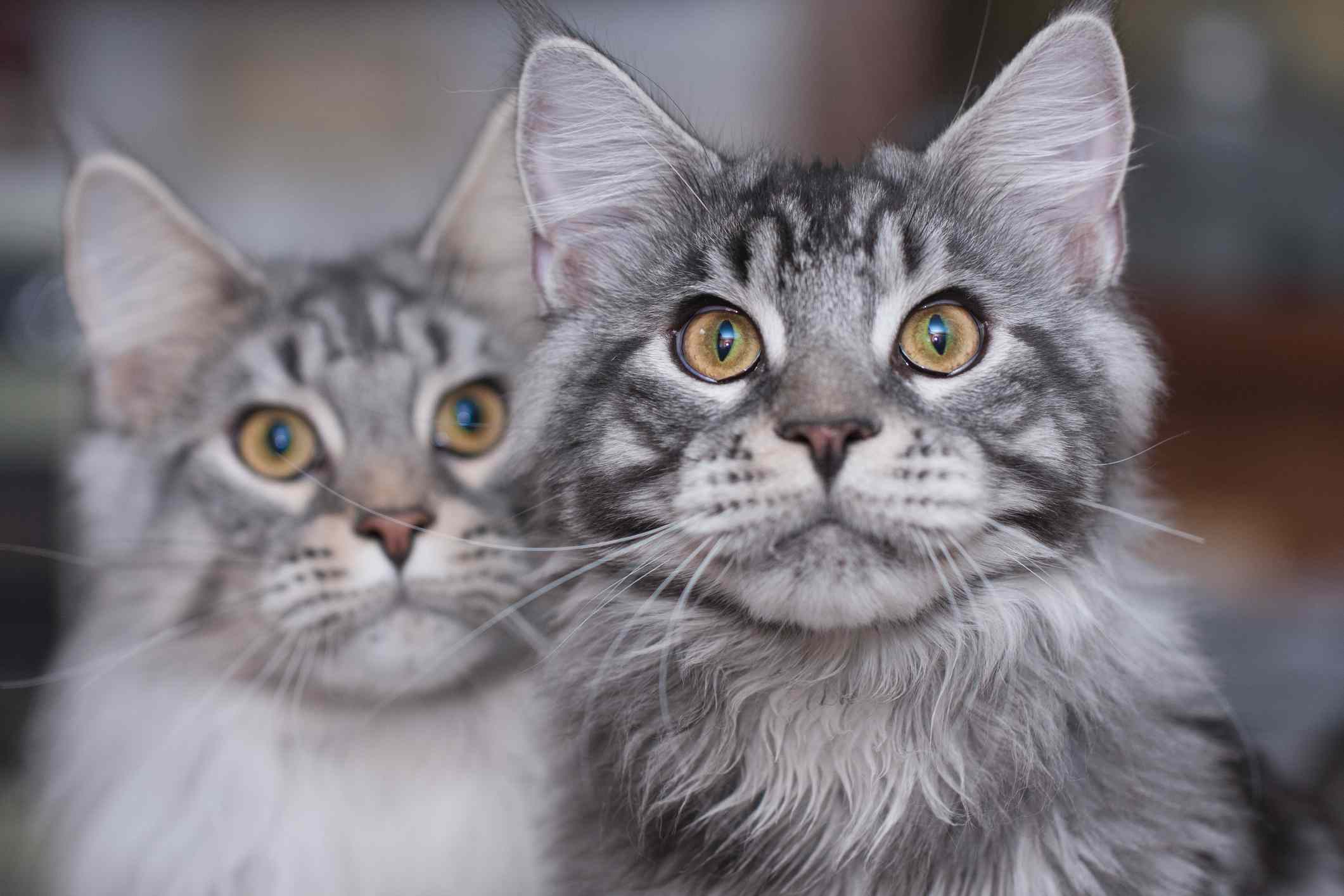 Two Maine Coon cats looking into the camera.