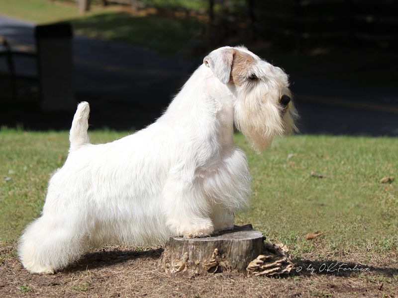 Champion Sealyham Terrier