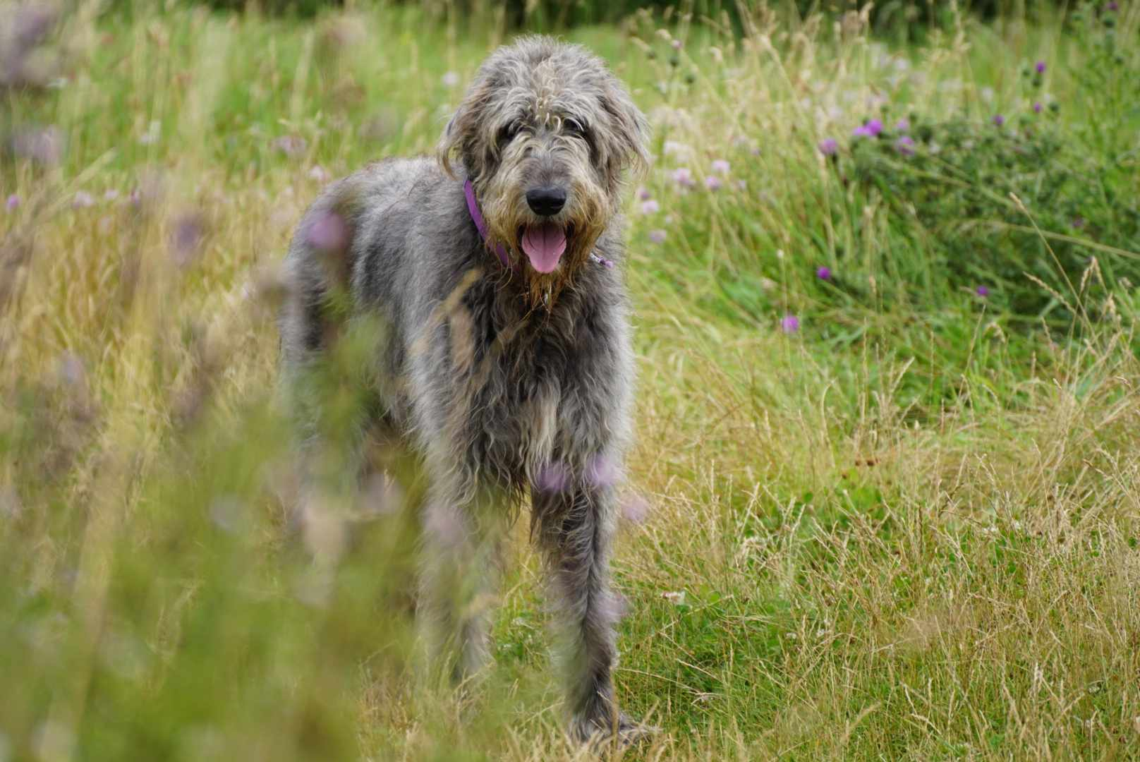 A big, shaggy, gray Irish Wolfhound in the grass and wildflowers.