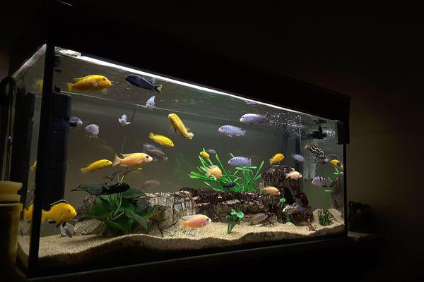 Fish Swimming In Aquarium At Home