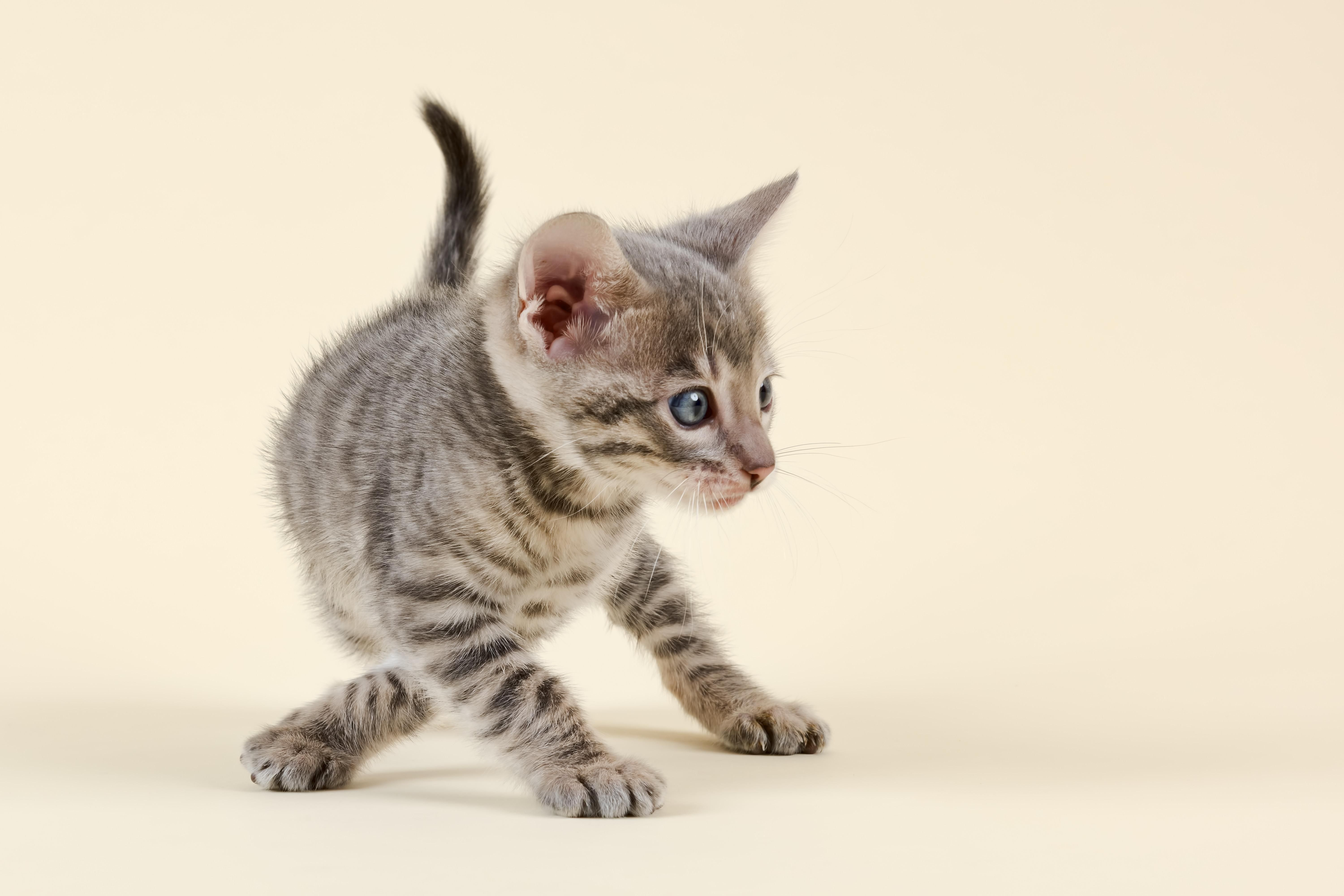 Toyger (Felis silvestris catus), age 6 weeks, with crossed paws