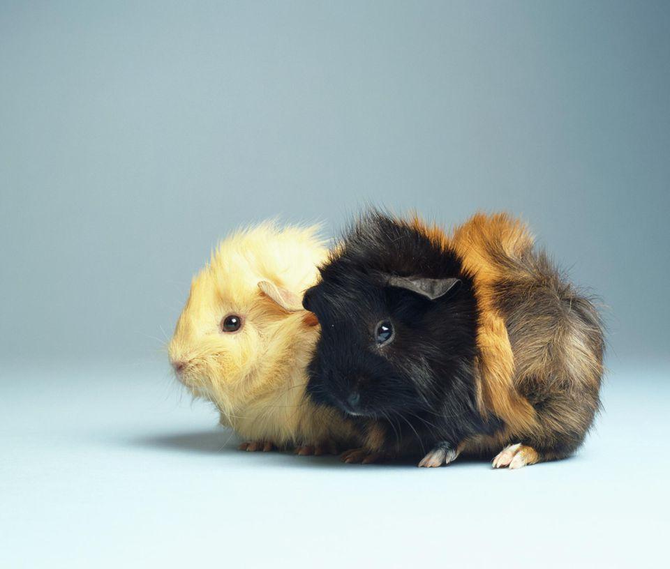 Dos conejillos de indias