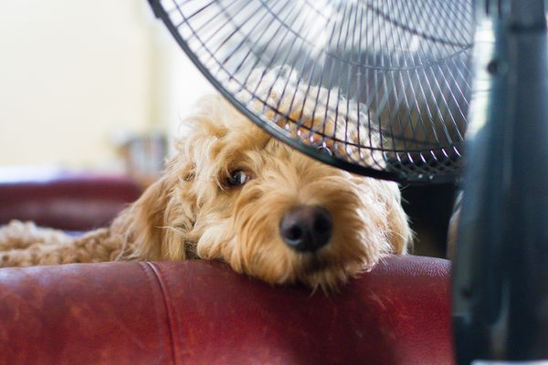 Dog laying on a bed in front of a fan