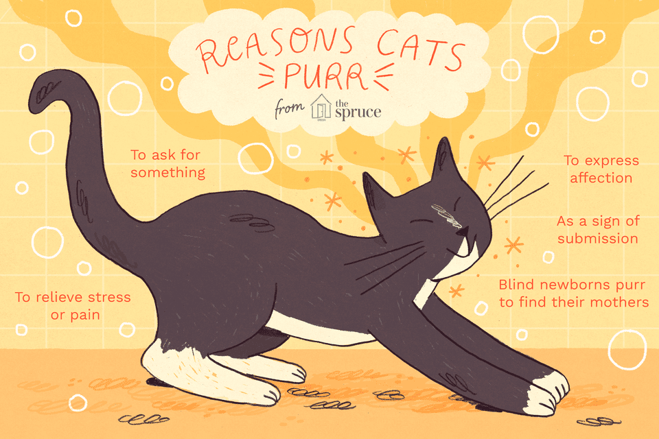 why do cats purr? reasons why cats purr