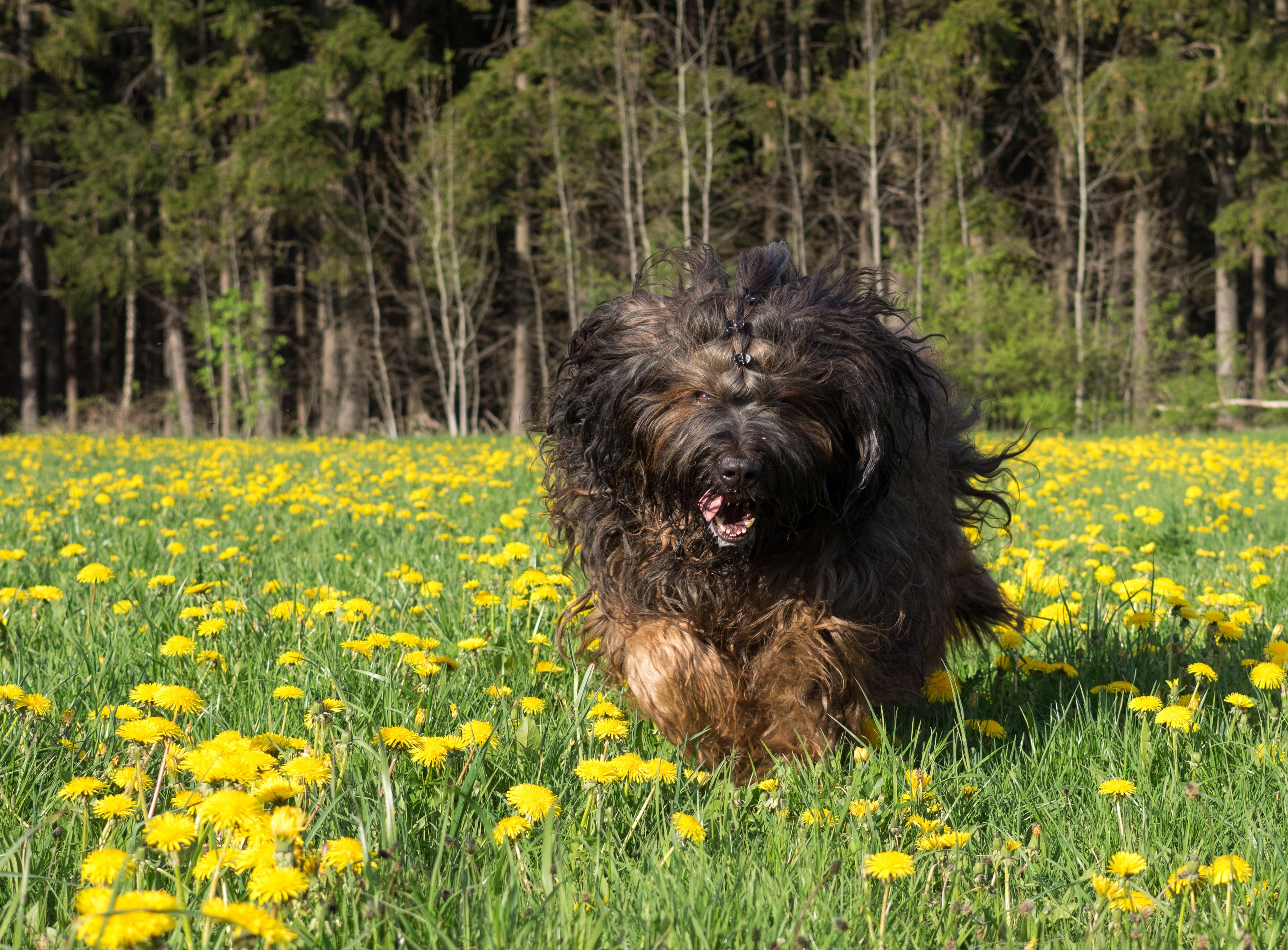 Tibetan mastiff running in field