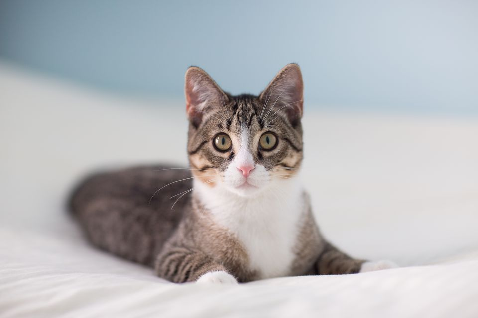 Tabby and White Cat Laying on a Bed
