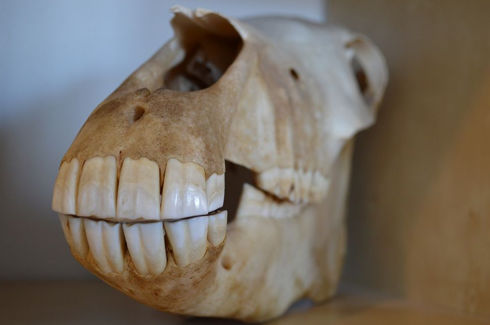 Close-up of front teeth in horse skull
