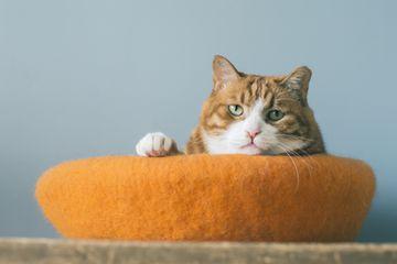 Orange tabby cat in bed