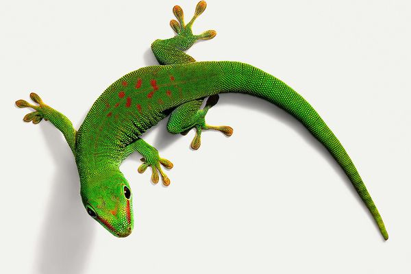 Day gecko on a wall