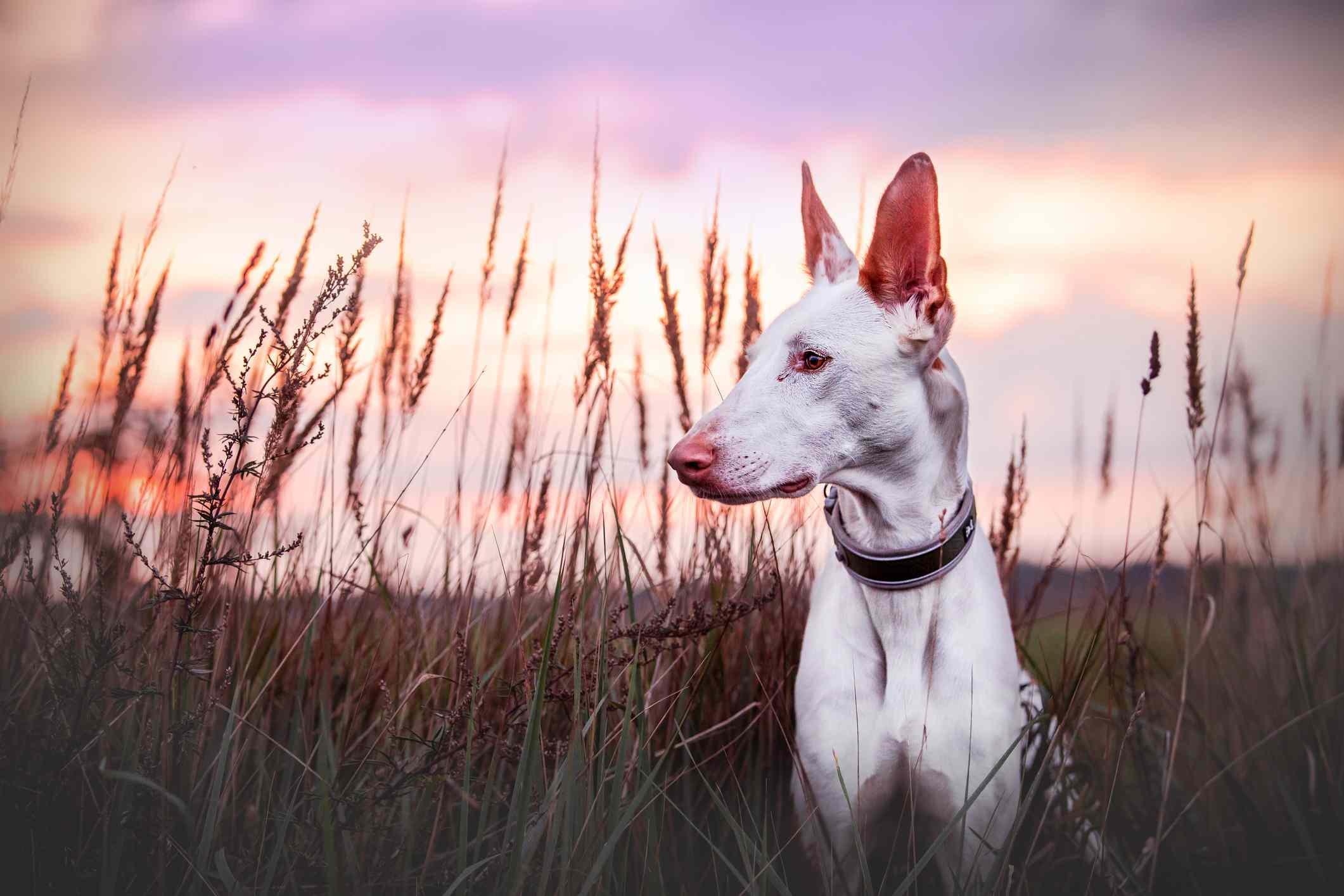 White Ibizan hound