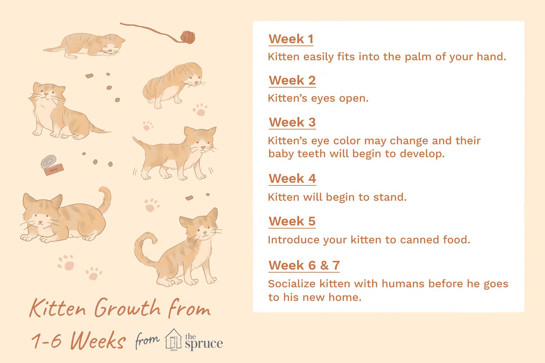 tabla de crecimiento de gatito