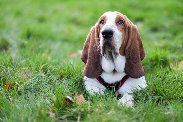 basset hound lying on grass