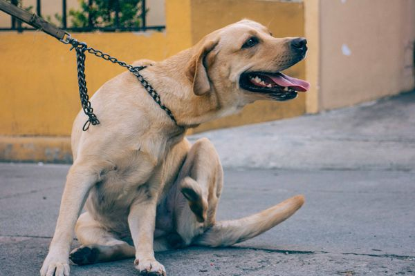 Dog leashed on sidewalk itching itself and panting
