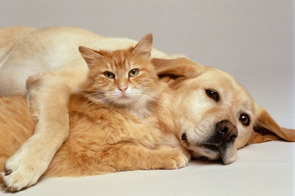 Lab and orange cat cuddling together.