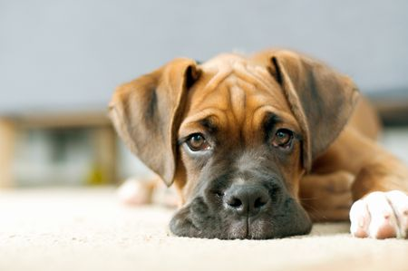 Bartonella Infection In Dogs And Cat Scratch Fever