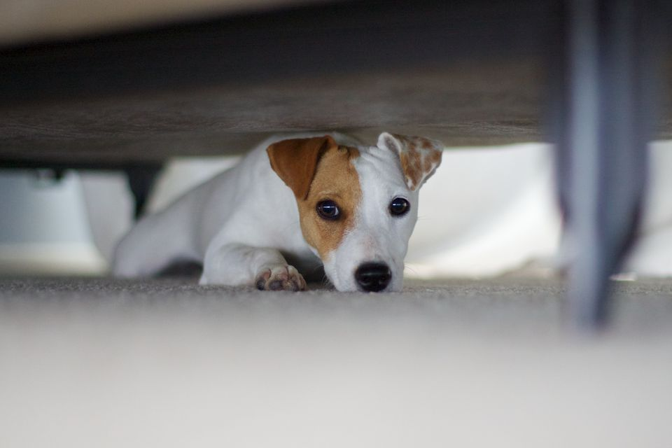 Scared dog hiding under bed