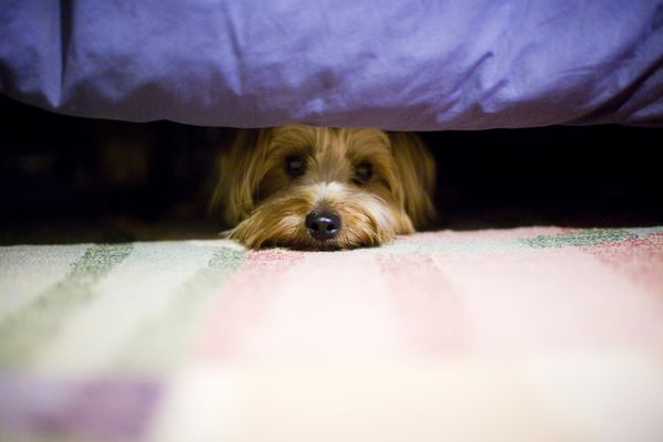 Scared Yorkshire terrier dog hiding under bed.