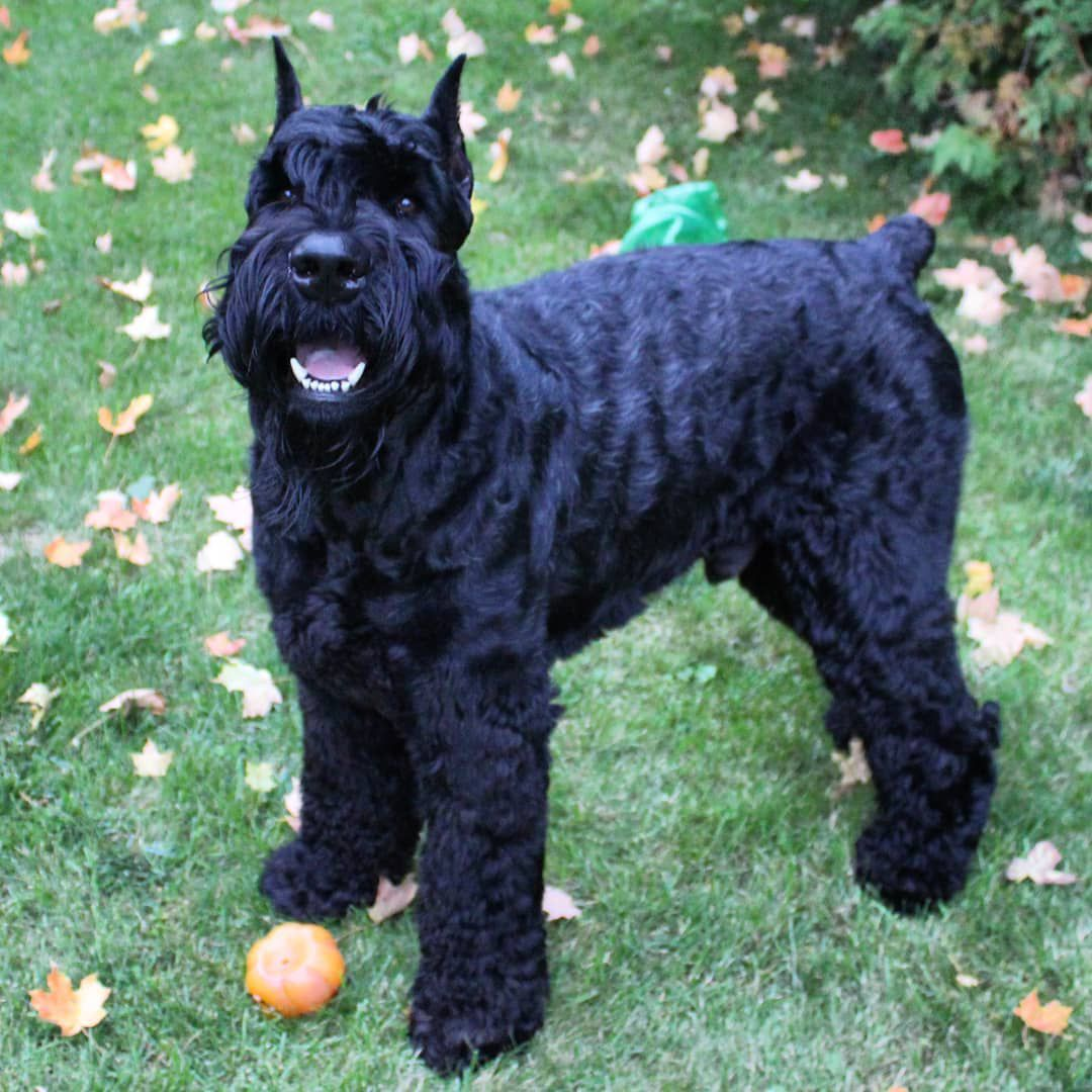 Young giant schnauzer outside