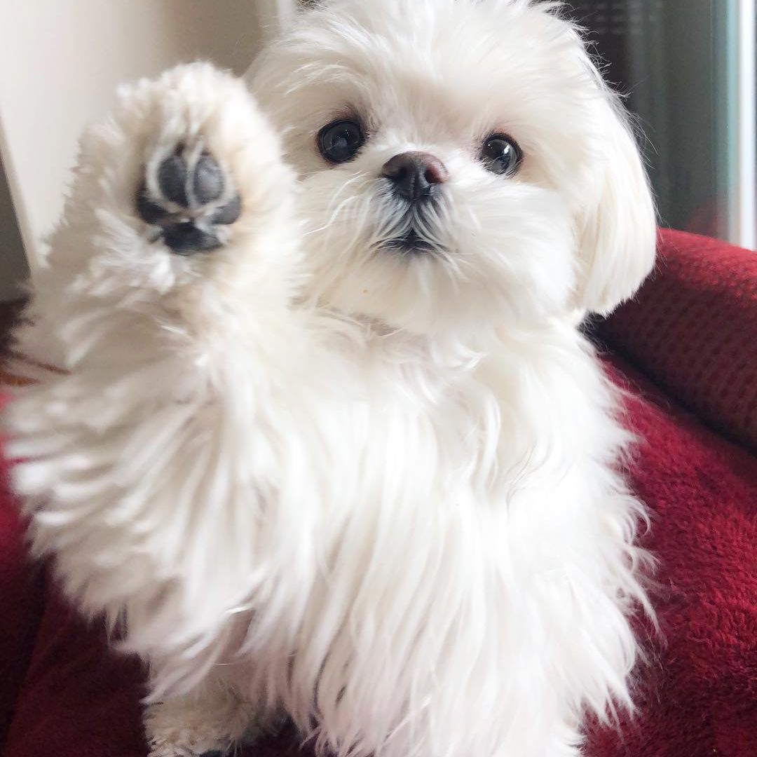 A Maltese putting her paw up in the air towards the camera.