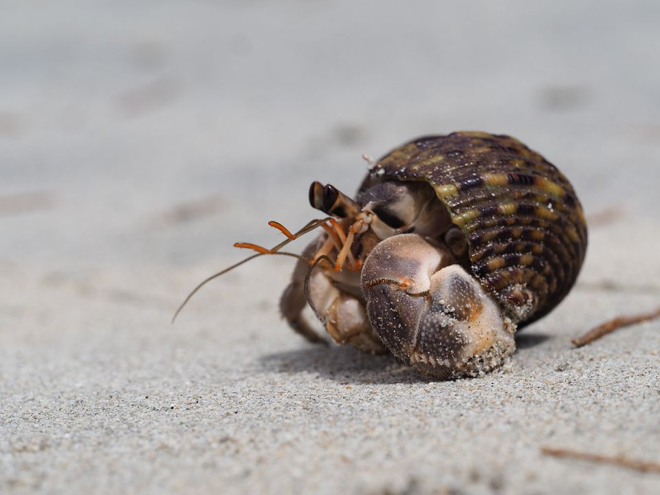 Close-Up Of Hermit Crab