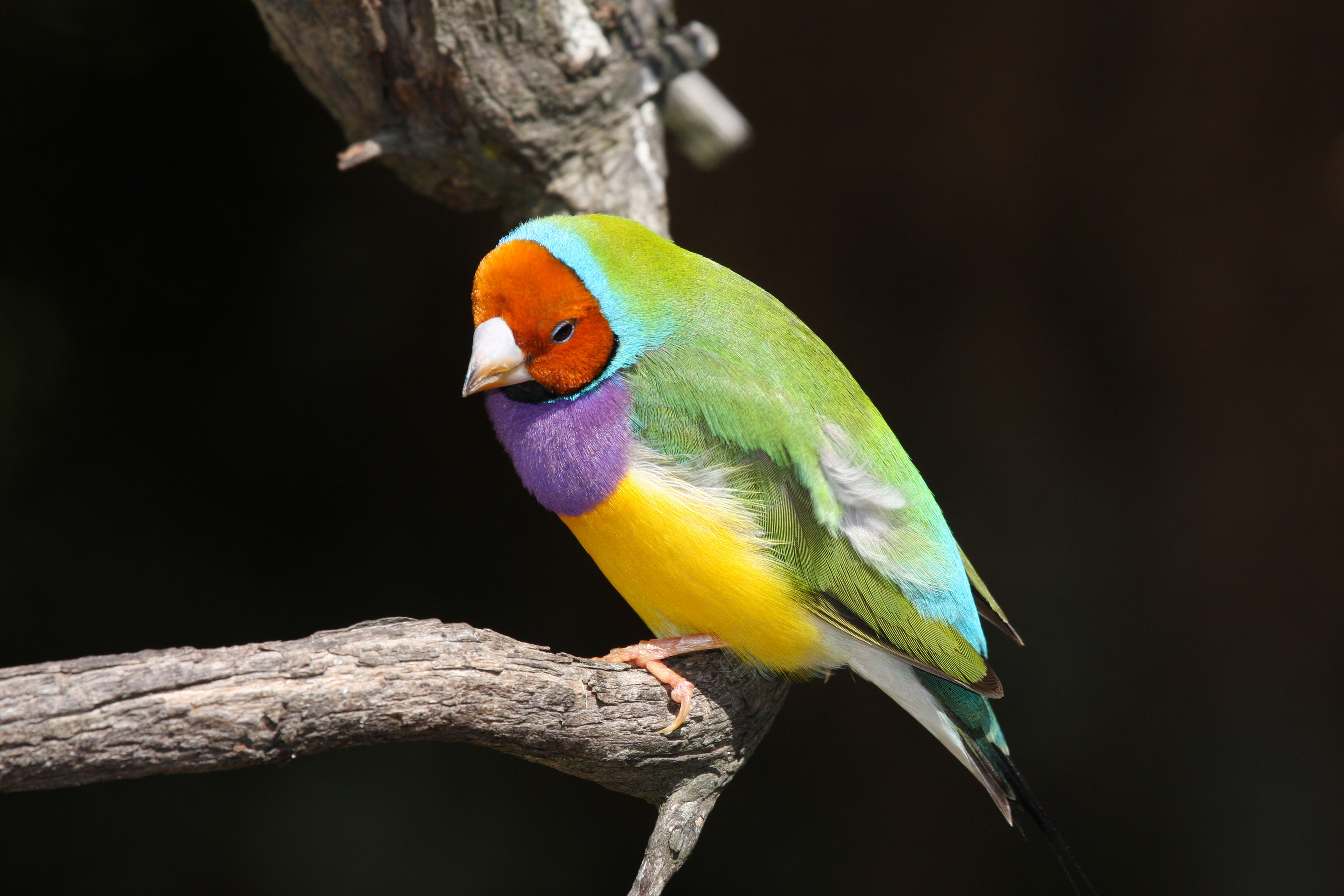 finch bird on branch