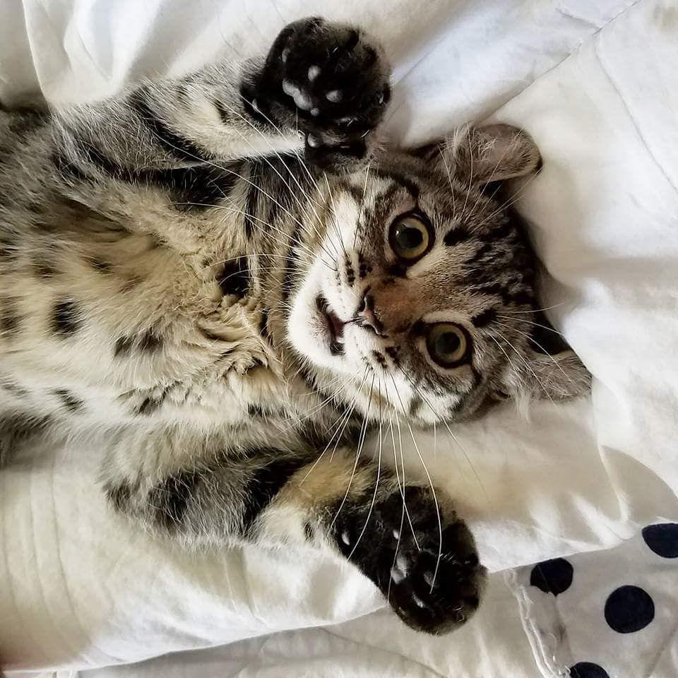 Un gato polydactyl acostado sobre su espalda.